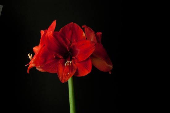 20110324 - Amaryllis-2126.jpg